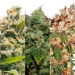 FRUIT BASKET FEMINIZED COMBO PACK